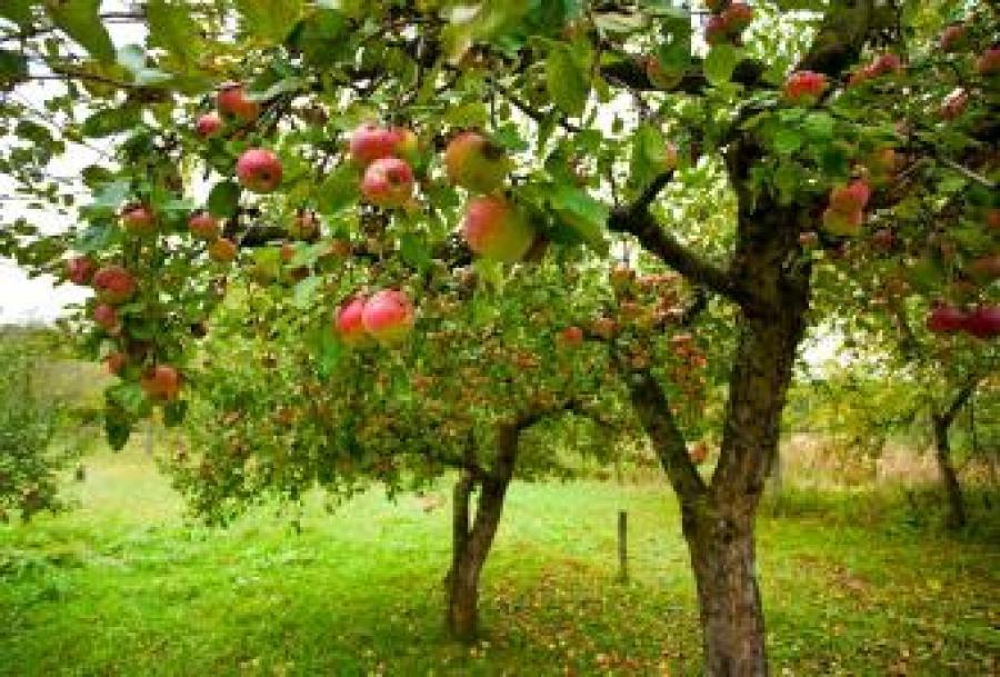 Æbletræer med æbler